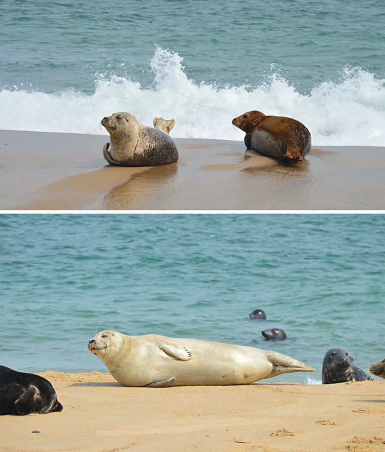 The seals on Horsey beach